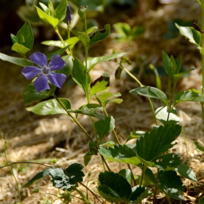 Pervenche et fleurs violettes en Vendée