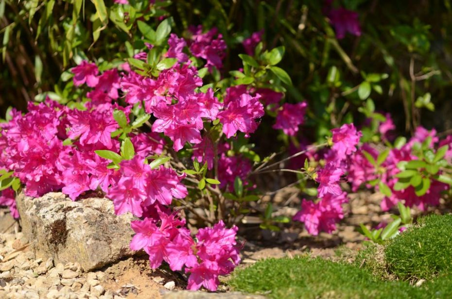 Flowering japanese azalea